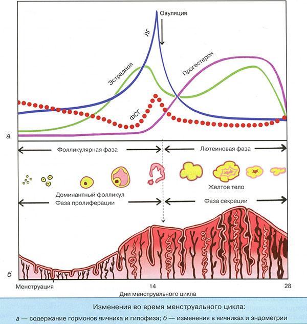 Базальная температура и гормоны